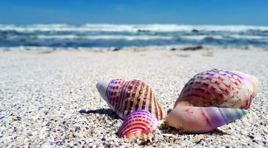 seashell, shell, shells